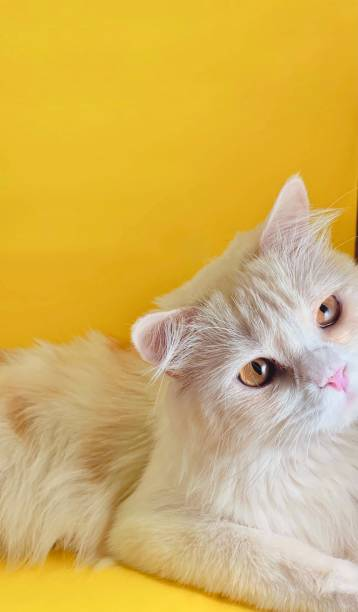 Close-up portrait of cat against yellow background