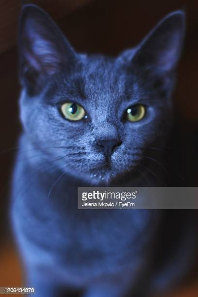 close-up portrait of cat at home - jelena ivkovic stock pictures, royalty-free photos & images