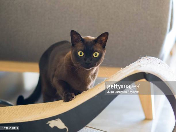 close-up portrait of cat at home - siamese cat stock pictures, royalty-free photos & images