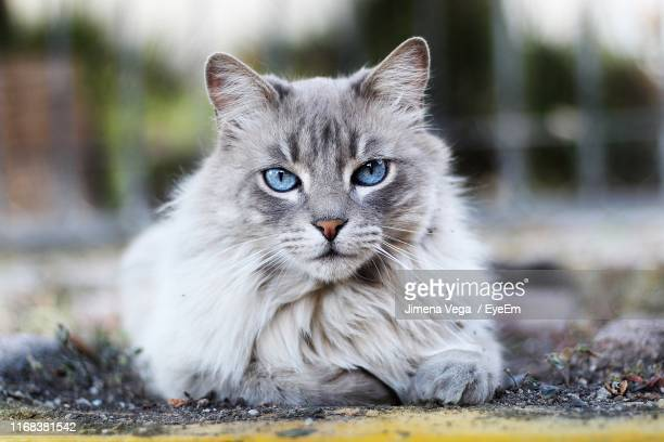 close-up portrait of cat by sea - maine coon cat stock pictures, royalty-free photos & images