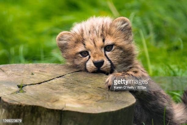 close-up portrait of cat on tree stump, ash, united kingdom - young animal stock pictures, royalty-free photos & images