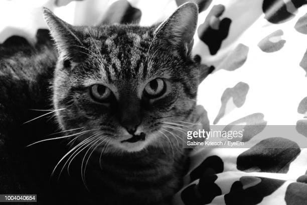 close-up portrait of cat - sabine kriesch stock-fotos und bilder