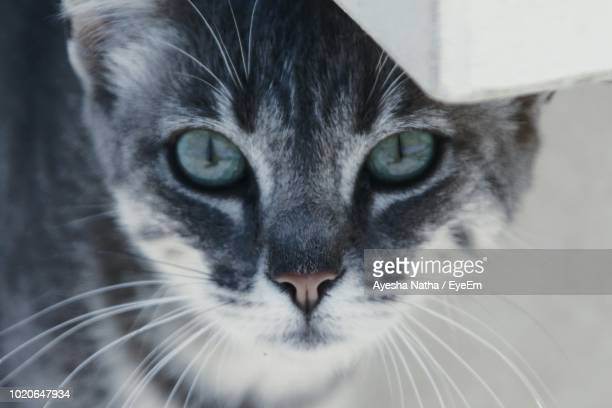 close-up portrait of cat - pawed mammal stock pictures, royalty-free photos & images