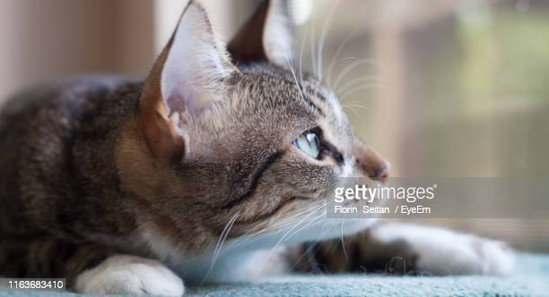 close-up portrait of cat - florin seitan stock pictures, royalty-free photos & images