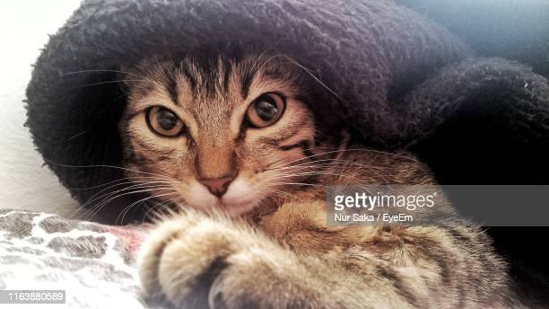 close-up portrait of cat - saka stock pictures, royalty-free photos & images