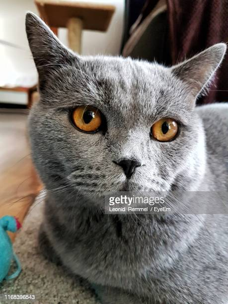 close-up portrait of cat - british shorthair cat stock pictures, royalty-free photos & images