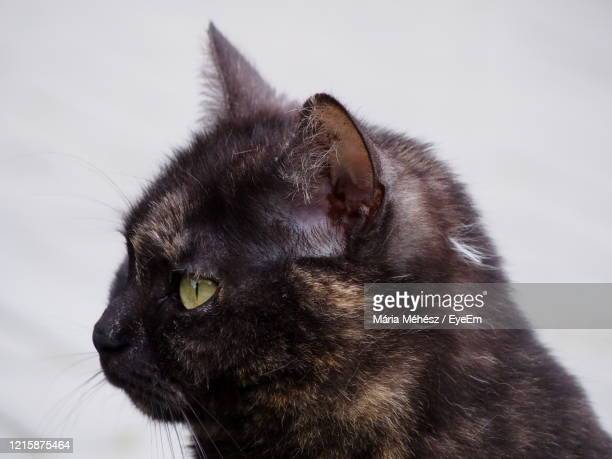 close-up portrait of cat - black siamese cat stock pictures, royalty-free photos & images
