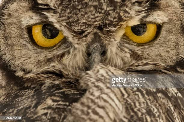 close-up portrait of cat - great horned owl stock pictures, royalty-free photos & images