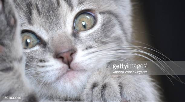 close-up portrait of cat - hamilton new zealand stock pictures, royalty-free photos & images