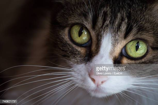 close-up portrait of cat - green eyes stock pictures, royalty-free photos & images
