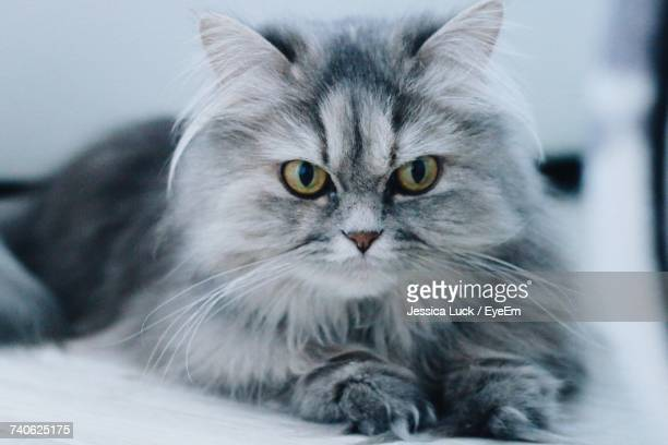 close-up portrait of cat - persian stock photos and pictures