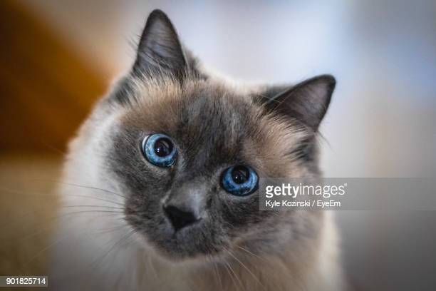 close-up portrait of cat - siamese cat stock pictures, royalty-free photos & images