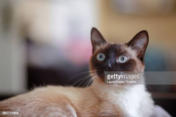 close-up portrait of cat relaxing at home - siamese cat stock pictures, royalty-free photos & images