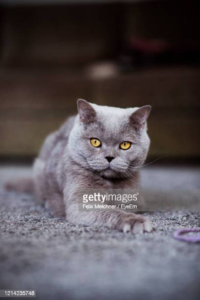 close-up portrait of cat relaxing on floor - british shorthair cat stock pictures, royalty-free photos & images
