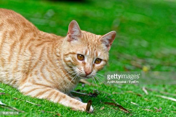 Close-Up Portrait Of Cat Relaxing On Grassy Field