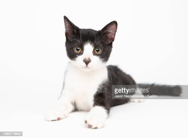 close-up portrait of cat sitting against white background - domestic animals stock pictures, royalty-free photos & images
