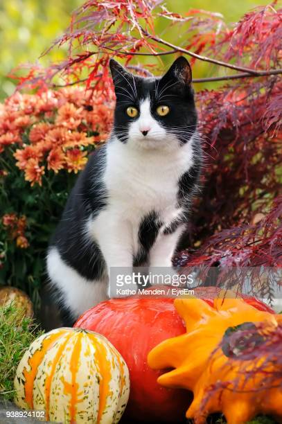 close-up portrait of cat sitting on pumpkin - pumpkin cats stock pictures, royalty-free photos & images