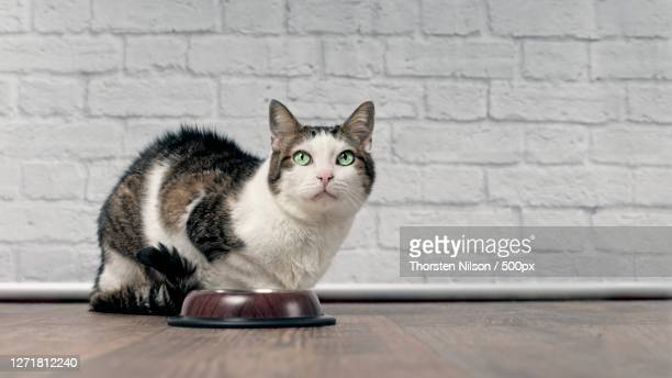 close-up portrait of cat sitting on table against wall, neu-ulm, germany - neu stock pictures, royalty-free photos & images
