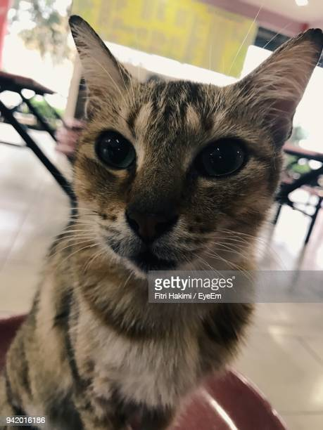 close-up portrait of cat sitting on table - hakimi stock photos and pictures