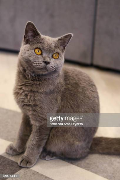 close-up portrait of cat sitting - cat family stock photos and pictures