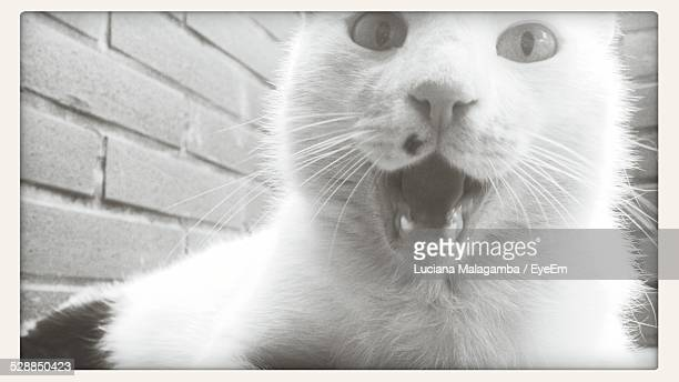 Close-Up Portrait Of Cat With Mouth Open