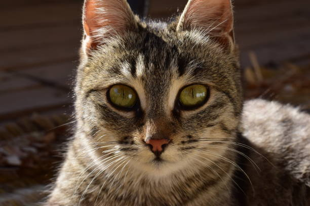 Close-up portrait of cat,Rasht,Gilan Province,Iran