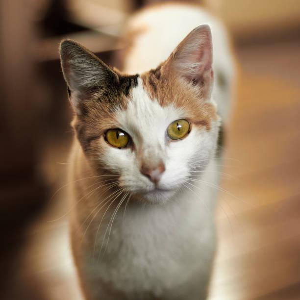 Close-up portrait of cat,Talca,Maule,Chile