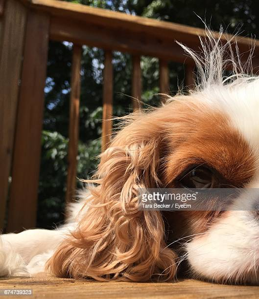 Close-Up Portrait Of Cavalier King Charles Spaniel Resting In Balcony
