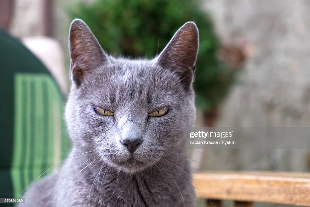 https://media.gettyimages.com/photos/closeup-portrait-of-chartreux-cat-picture-id676891089