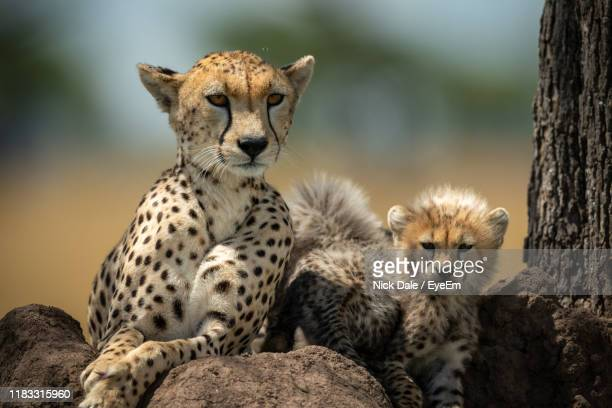 close-up portrait of cheetah with cubs on rocks - mammal stock pictures, royalty-free photos & images