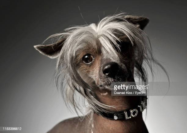 close-up portrait of chinese crested dog against gray background - chinese crested dog stock photos and pictures