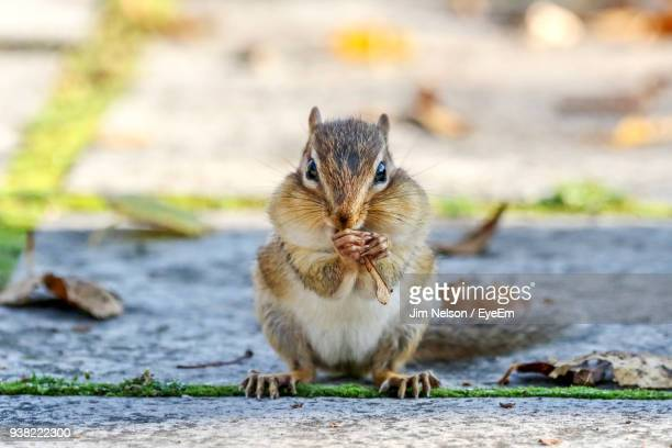 Close-Up Portrait Of Chipmunk Eating On Footpath