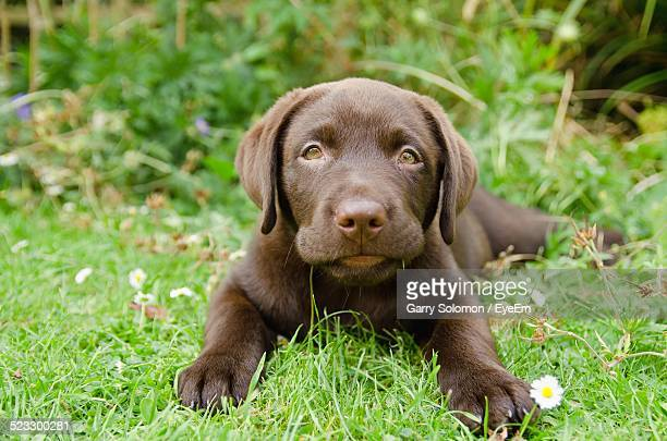 close-up portrait of chocolate labrador puppy relaxing on grass - chocolate labrador stock pictures, royalty-free photos & images