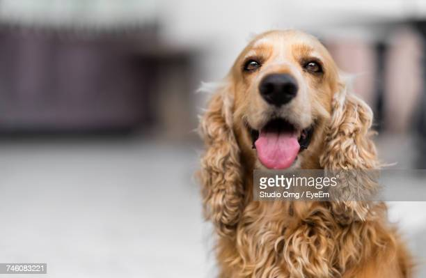 close-up portrait of cocker spaniel sticking out tongue - cocker spaniel stock photos and pictures