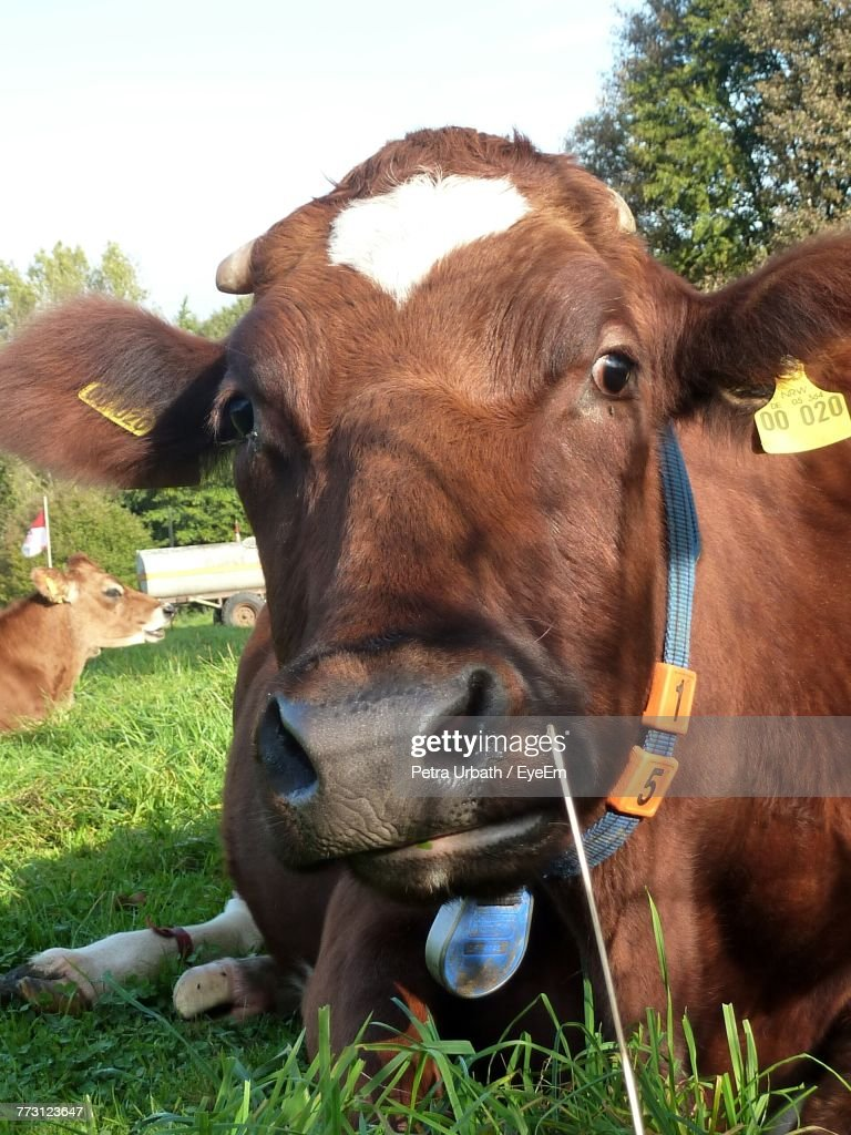 Close-Up Portrait Of Cow On Field : Stock Photo