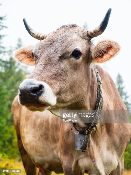 close-up portrait of cow - einzelnes tier stock-fotos und bilder