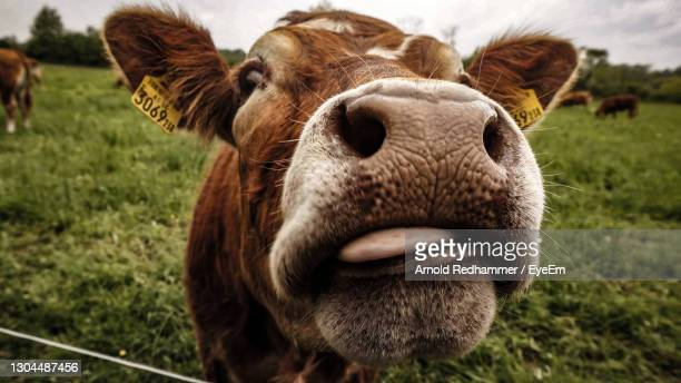 close-up portrait of cow - cow eye stock pictures, royalty-free photos & images