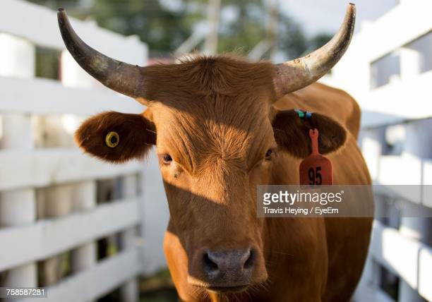 close-up portrait of cow - bullock stock photos and pictures