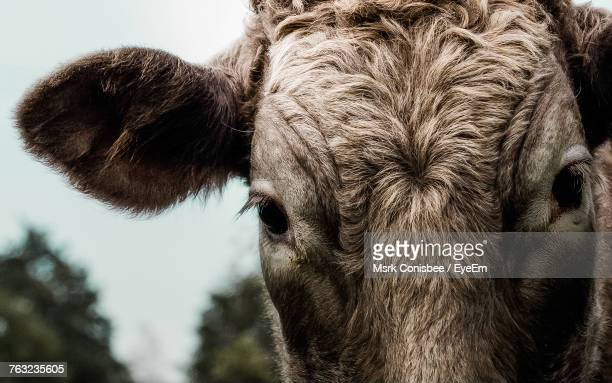 close-up portrait of cow - cow eyes stock pictures, royalty-free photos & images