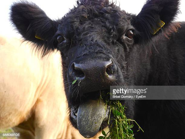 Close-Up Portrait Of Cow Sticking Out Tongue