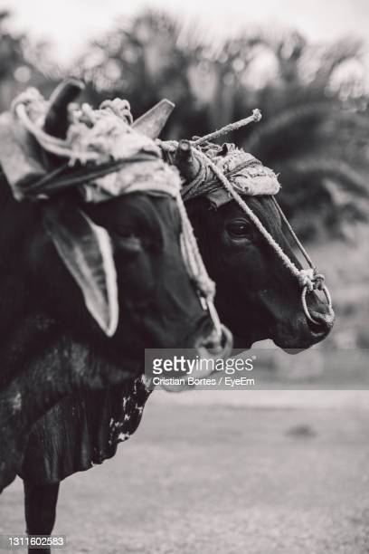 close-up portrait of cows - bortes stock pictures, royalty-free photos & images