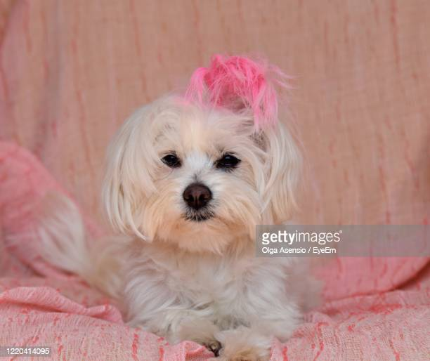 close-up portrait of cute dog - millennial pink stock pictures, royalty-free photos & images