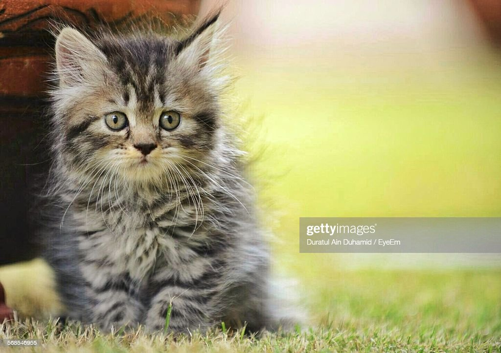 Close-Up Portrait Of Cute Kitten Sitting On Grassy Field : Stock Photo