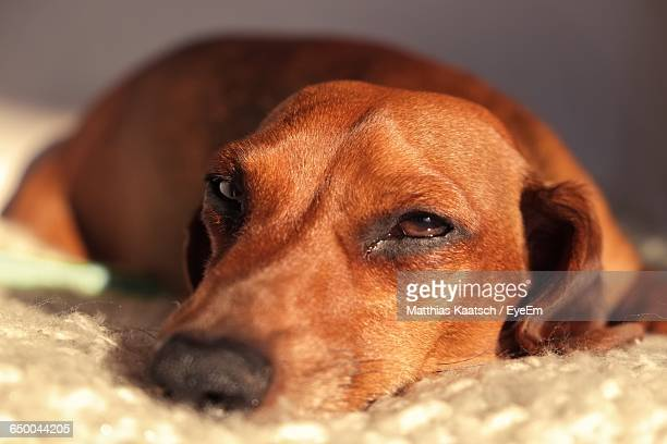 Close-Up Portrait Of Dachshund Relaxing At Home