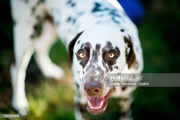 Close-Up Portrait Of Dalmation Dog
