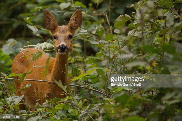Close-Up Portrait Of Deer Amidst Plants In Forest