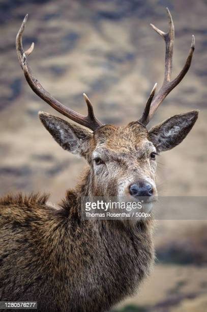 close-up portrait of deer standing on field,highland,scotland,united kingdom,uk - stag stock pictures, royalty-free photos & images