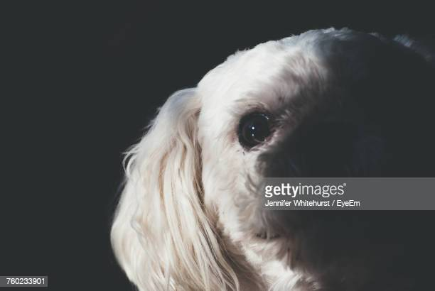 Close-Up Portrait Of Dog Against Black Background