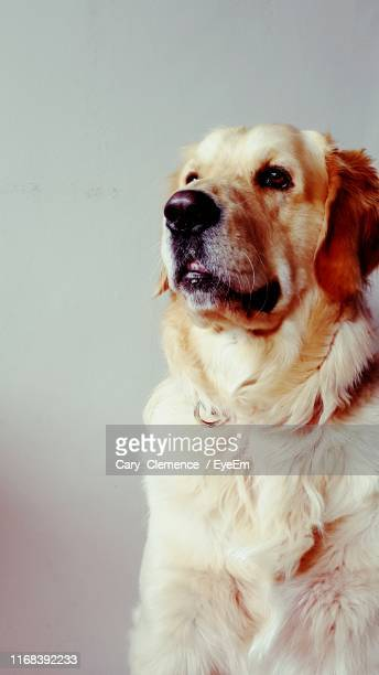 close-up portrait of dog against white background - cary stockfoto's en -beelden