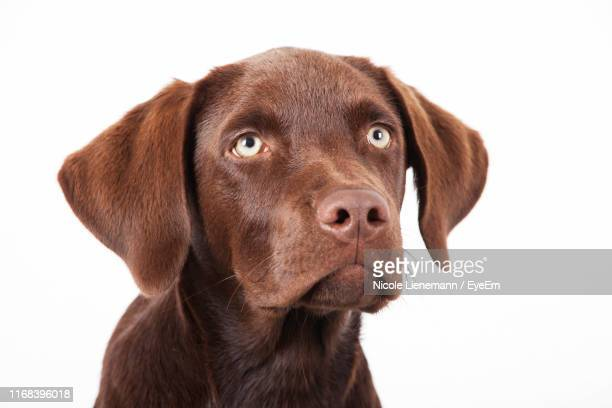 close-up portrait of dog against white background - hound stock pictures, royalty-free photos & images